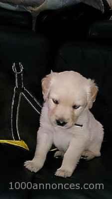 A Vendre Chiots Golden Retriver Labrador Animaux Animaux Adoption Plantes 1000annonces Com Belgique
